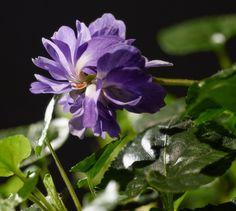 La violette fleurit de novembre à mars. Cultivée à Toulouse depuis 1850, cette fleur double diffuse des notes de réglisse au gré de ses envies. / The true Toulouse violet © Dominique Viet - Maison de la violette #violette #violet #toulouse #visiteztoulouse #flower