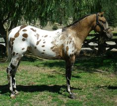 """""""Snowman's Magic is a VERY loud colored dun, Appaloosa stallion who is also a hypoallergenic Curly horse. He is from a proven sire of quality *Sandman's Magic and out of a lovely, tall, racing bred, registered Appaloosa mare.""""  - -   Snowman at the Armstrong Breeders Showcase: http://www.slide.com/r/Zwzzv-7K5T9WXD0W1VzZDbXC9NBPDvbh"""