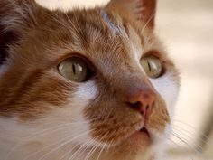Ginger Wonder by Lauren Greasley on Cats, Photos, Animals, Gatos, Pictures, Animales, Animaux, Animal, Cat
