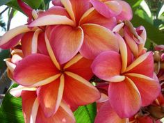 Plumerias-- Come in different colors.  I fell in love with these flowers when I traveled to Hawaii