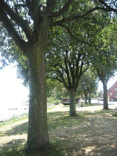 Some trees beside the beache in Skillinge