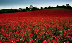 These amazing shots were taken by Alan Ranger, 43, at Blackstone Farm nature reserve in Bewdley, Worcestershire, during a one-week window when the poppies appear in full bloom.