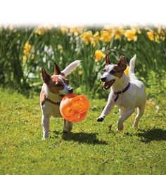 Basic info and fun facts about the Jack Russell Terrier. These dogs make delightful pets, provided you have the energy to keep up with them. Jack Russell Terriers, Riviera Maya, Dog Friendly Garden, Best Dog Toys, Terrier Breeds, Pet News, Jack Russells, Pet Safe, Dog Quotes