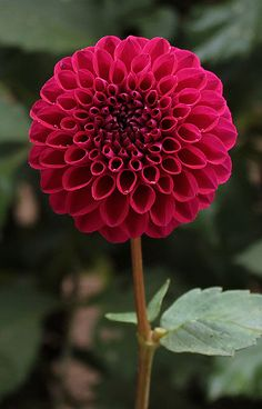"~~Talisman Dahlia | a 3"" purple red brightly colored, perfectly round bloom on very strong stems. Great show dahlia and beautiful garden and cut flower. Grows to 4 ft high 
