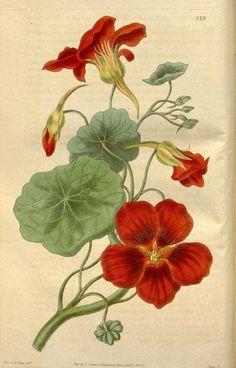 10468 Tropaeolum majus L. var. atrosanguineum / Curtis's Botanical Magazine, vol. 62 [ser. 2, vol. 9]: t. 3375 (1835) [Miss. C.M. Pope]