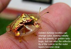 Did you know that golden tortoise beetles can be found on morning glory leaves and can change color, looking initially like tiny jewels, or golden ladybugs, but can alter the reflectivity of the cuticle so the outer layers become clear, revealing a ladybug type of red coloring with black spots. This color change is accomplished by microscopic valves controlling the moisture levels under the shell. Continue reading for more interesting (yet true) facts you might not have known about.