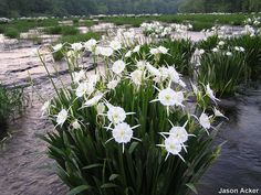 The Cahaba River Lily Cahaba River, Flower Texture, Sweet Home Alabama, Flora And Fauna, Types Of Art, Flower Arrangements, Artsy, Lily, Nature