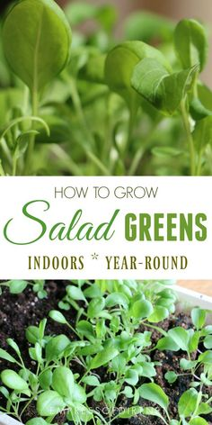 Did you know you can grow fresh salad greens in your home any time of year? It's true! And it's a great project for beginner growers. #gardening #indoorgardening #foodgrowing #indoorfoodgrowing #gardenideas #saladgreens #empressofdirt