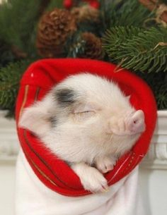 Peaceful piggy!