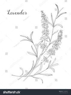 Vector sketch lavender illustration. Beautiful boquet of lavender flowers. Doodle, line art