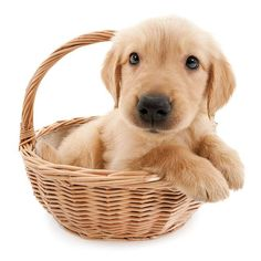 Artlist Collection THE DOG Golden Retriever — What a beautiful world it would be if people had hearts like dogs.