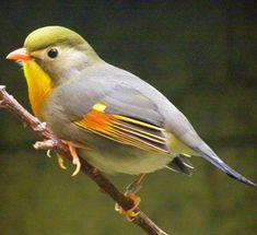 Birds Red-billed Leiothrix