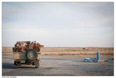 Camel pick-up, Mauritania [http://www.flickr.com/photos/btwienclicks/]