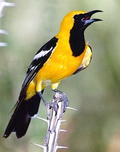 """Hooded oriole bird.                          This beautiful bird comes and drinks out of our Hummingbird feeder every year along with his """" wife"""""""