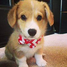 Corgi puppy with floppy ears.