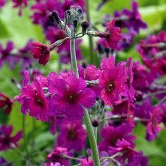 ✿ Recette de jardin N°9 ✿ Primevère candélabre - Primula pulverulenta