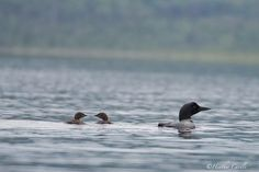 """#ChickPicotheDay! (Day 2,080) """"YOUR turn to ask her for a ride."""" Super-cropped as I had my wrong lens with me for our paddle. Will try for better, but this was just within the hour of us getting here. #CommonLoon #BabyCommonLoons #Loons #MotherandBabies #FishingLessons #QualityTime #BaptisteLake #BrantfordPhotographer #KayakCameraGirl #CanonGirl"""