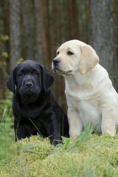 Labrador retriever puppy in garden Puppies And Kitties, Cute Puppies, Cute Dogs, Dogs And Puppies, Doggies, Kittens, Labrador Retrievers, Retriever Puppy, Golden Retrievers