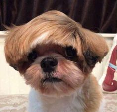 Here's 17 Dogs With Bad Haircuts And The 17 Things They Look Like is part of Funny dog memes - Nobody is immune from a bad haircut Chien Shih Tzu, Shih Tzu Dog, Shih Tzus, Funny Dog Memes, Funny Dogs, Cute Baby Animals, Funny Animals, Cute Puppies, Cute Dogs