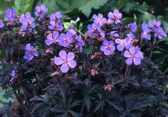 Buy cranesbill Geranium pratense 'Black Beauty = 'Nodbeauty' (PBR)': Delivery by Crocus