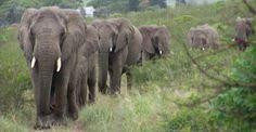 Elefanti accorsi in massa alla veglia funebre del loro amico umano