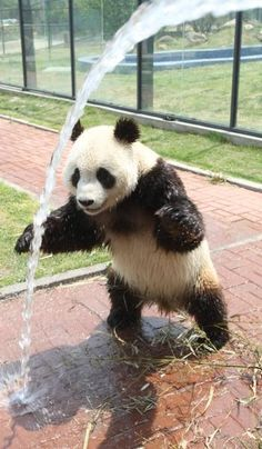 """""""Male giant panda Hua Ao reacts as keepers spray down him with a hose to help him stay cool during the hot weather at Yantai Zoo in Yantai, Shandong Province of China."""" <3 Leaping Bunny Pinterest Giveaway #animalsarebeautiful #DesertEssence #LeapingBunny"""