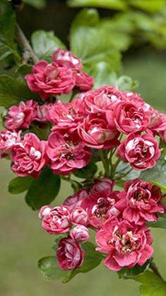 Red Hawthorn, Pauls Scarlet variety for sale online as a tree or for hedging at our UK plant centre Hedging Plants, Garden Plants, Robin Bird Tattoos, Hedges, Red Flowers, Scarlet, Cherry Blossom, Uk Plant, Berries