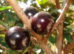 Asombroso árbol Jabuticaba da frutos en su tronco - VeoVerde