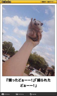 『獲ったどぉーー!』「捕られたどぉーー!」 Funny Animal Memes, Funny Animals, Cute Animals, Pretty Animals, Funny Comics, Funny Cute, Funny Images, Animals And Pets, Cute Pictures