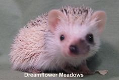 Different types of face masks for hedgehogs.