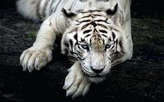 Animais Tigre Branco  Papel de Parede