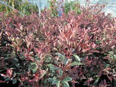 Caring for Red Tip Photinia