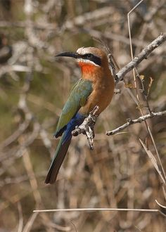 """birdfocus: """" White-fronted Bee-eater 