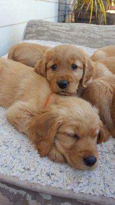 Golden retriever puppies Facebook:Willow's AKC Gokden retriever puppies