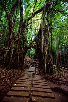 Jungle trails of Manoa Falls, Oahu, Hawaii. Hawaii Honeymoon, Oahu Hawaii, Hawaii Travel, Hawaii Hikes, Maui, Hawaii 2017, Hawaii Beach, Mexico Travel, Oahu Vacation