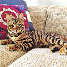 My name is Pippa Hathaway, I'm a rare toyger kitten living in California. Animals And Pets, Baby Animals, Cute Animals, Pretty Cats, Beautiful Cats, Kittens Cutest, Cats And Kittens, Cats Meowing, Big Cats