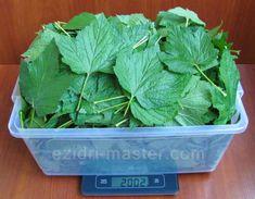 Каждый год заготавливаю смородиновые листья - это отличное лекарство для почек и суставов. Ни ревматизма, ни подагры не будет!