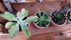 Echeveria, Succulents, Plants, Videos, Plant Identification, About Plants, Succulents Garden, Money Plant, Shade Plants