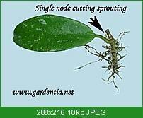 Propagation of a Hoya single node cutting. Garden Seeds, Garden Plants, Indoor Plants, Wax Flowers, Pretty Flowers, Propogating Plants, Garden Forum, Planting Flowers, Flower Plants