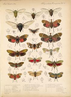 "W. Distant ""Insecta. Rhynchota. Hemiptera-Homoptera"", 1881-1905"