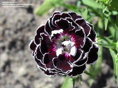 """Dianthus """"Velvet n Lace"""""""