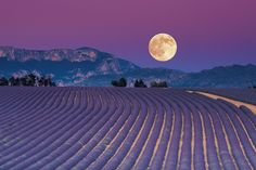 The moon shining over a field of lavender in France.