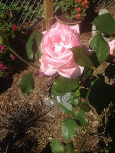 Benny and Kobe's memorial rose