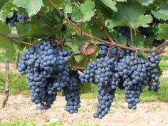 Il #vino per l'uomo è come l'acqua per le piante, che in giusta dose le fa stare bene erette. Platone. #amorplatonico
