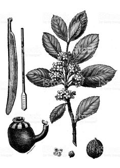 Bombilla Cocktail: An illustration of a yerba mate plant with the gourd and bombilla traditionally used in mate service.