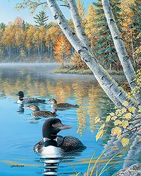 Loons in Summer Image Insert   Wild Wings