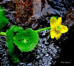 Wild yellow flowers, Norway, by Tone Lepsøe