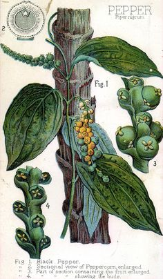 Piper nigrum (Black pepper ) is a flowering vine in the family Piperaceae, cultivated for its fruit, which is usually dried and used as a spice and seasoning. 1) black peper 2) sectional view of pepercorn,enlarged 3) part of section containing the fruit enlarged 4) part of section showing the buds. Image from victorian scrapbook.