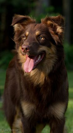 Red Australian Shepherd. I love this breed. ...........click here to find out more http://googydog.com