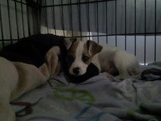 Newest grand puppy, Jessie.